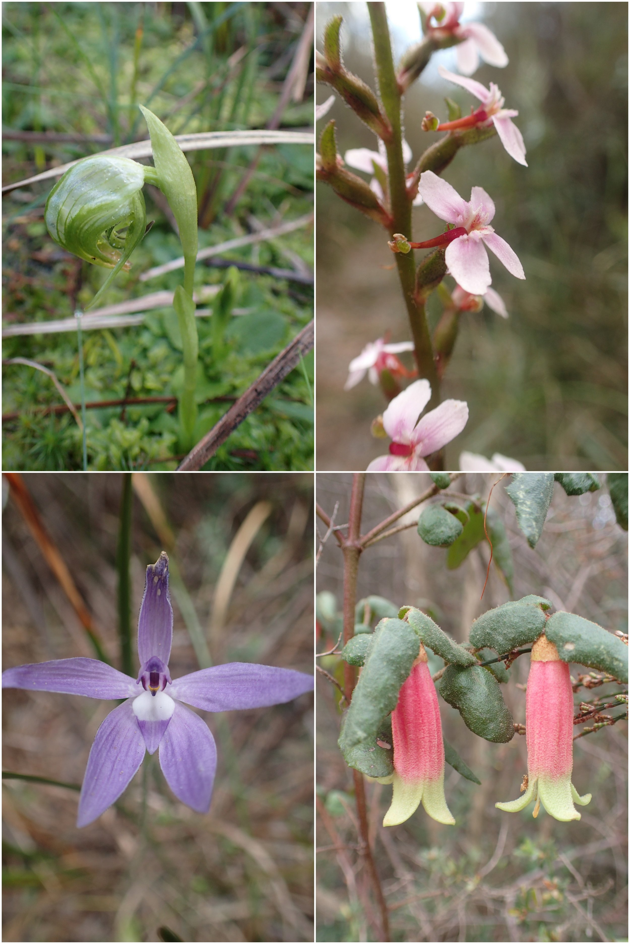 Spring native wildflowers at Bay Road Heathland Sanctuary.  Images: Lyndsey Vivian