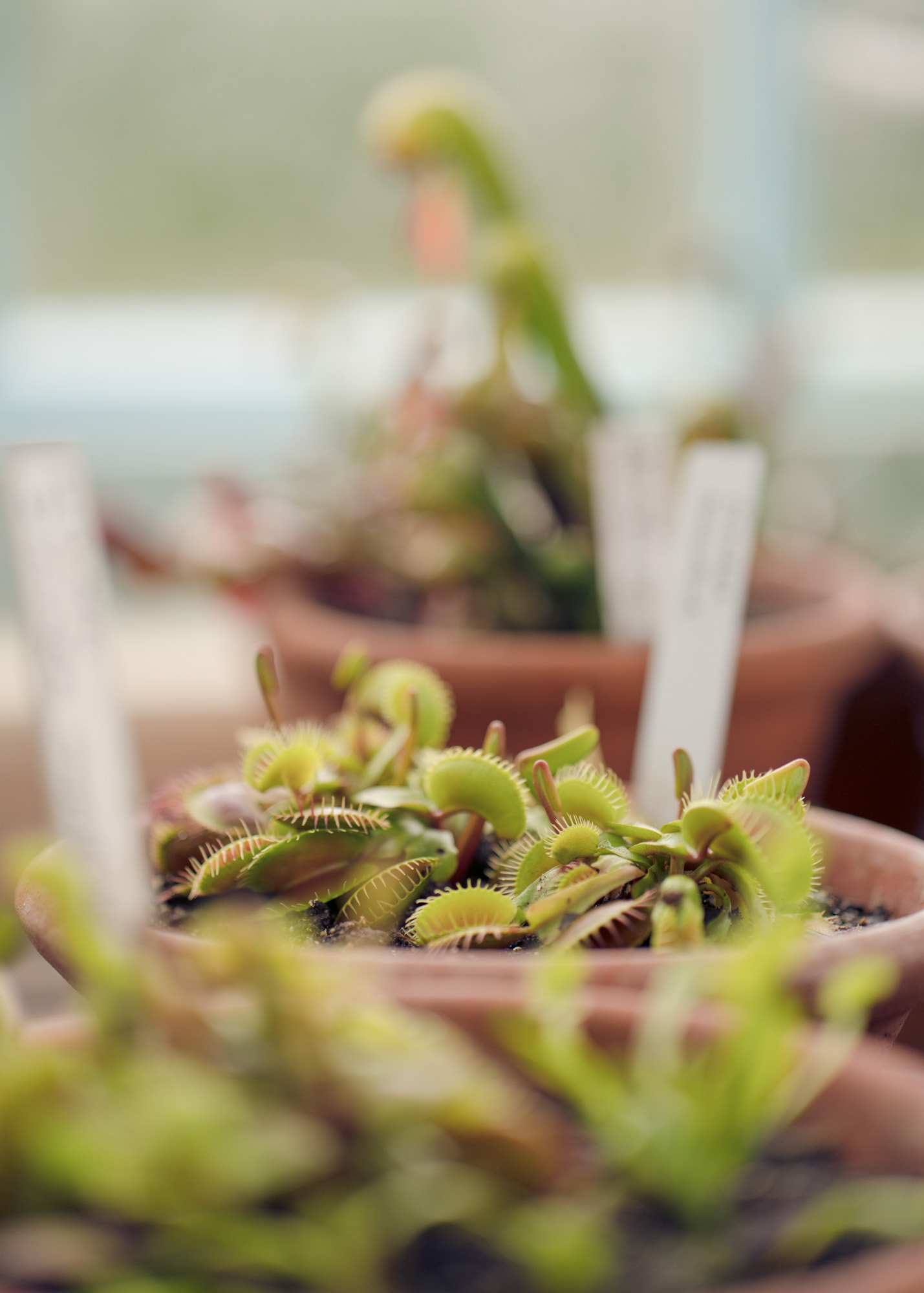 Venus fly traps growing in the green house
