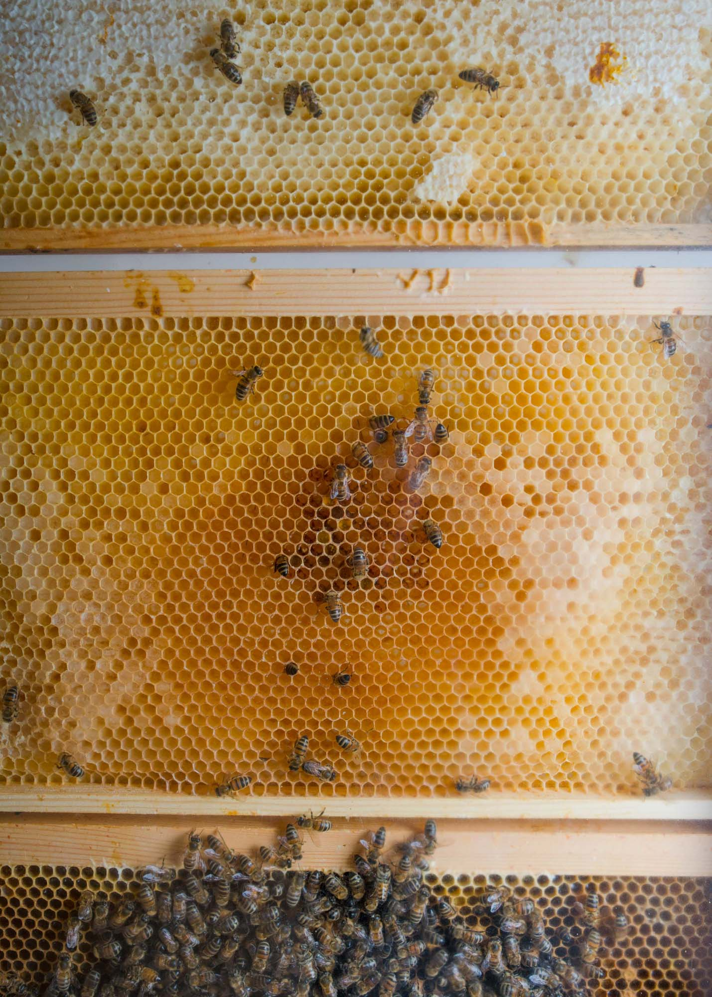 Interior detail of the honey bee hive