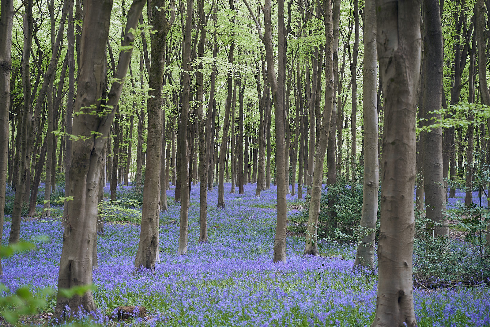Bluebells West Wood