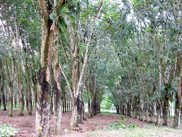 Rubber Wood Farm Southern Thailand