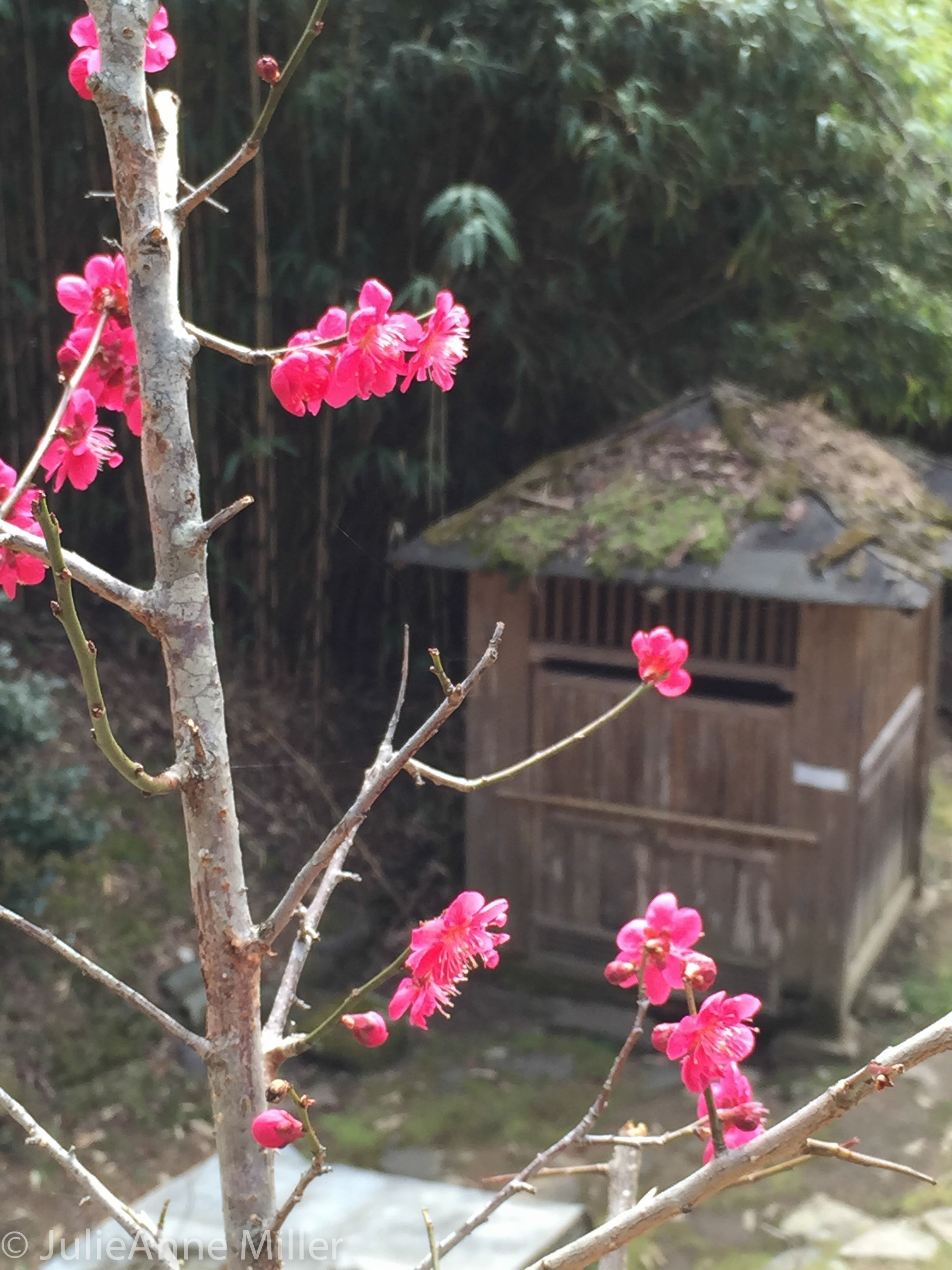 blossoms bulilam.jpg