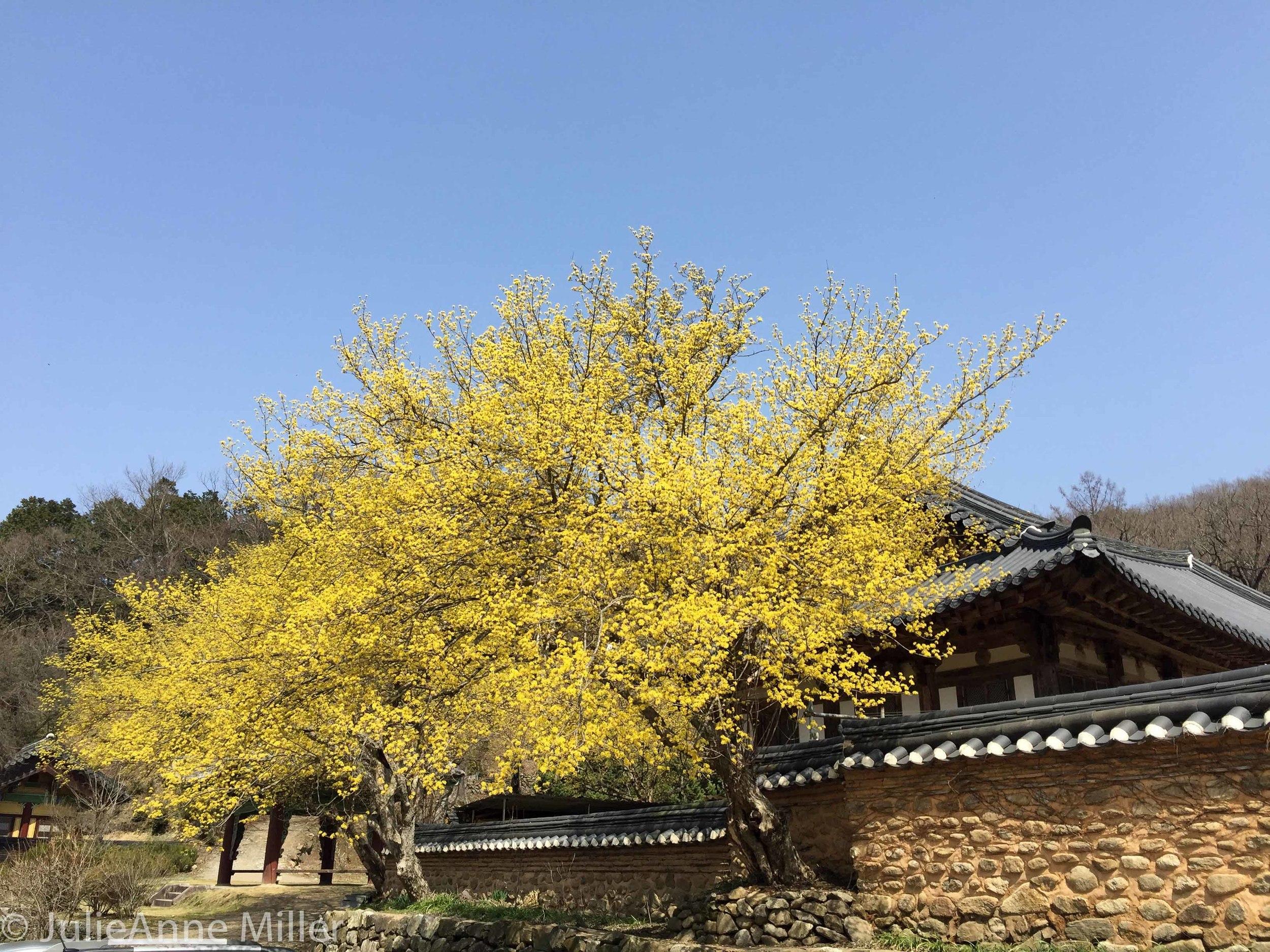 Spring in Songgwang Temple