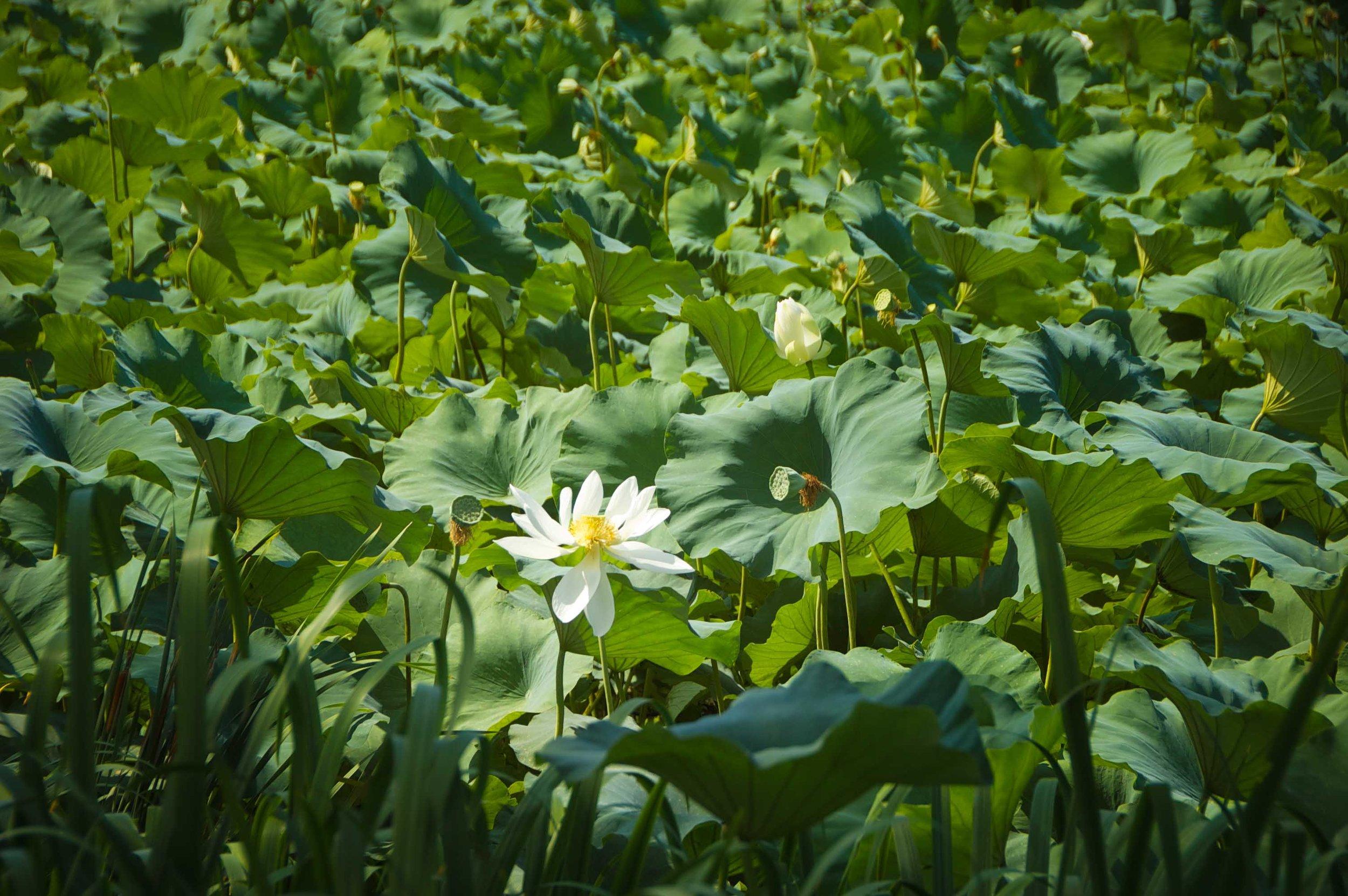 Andong, Korea lotus field