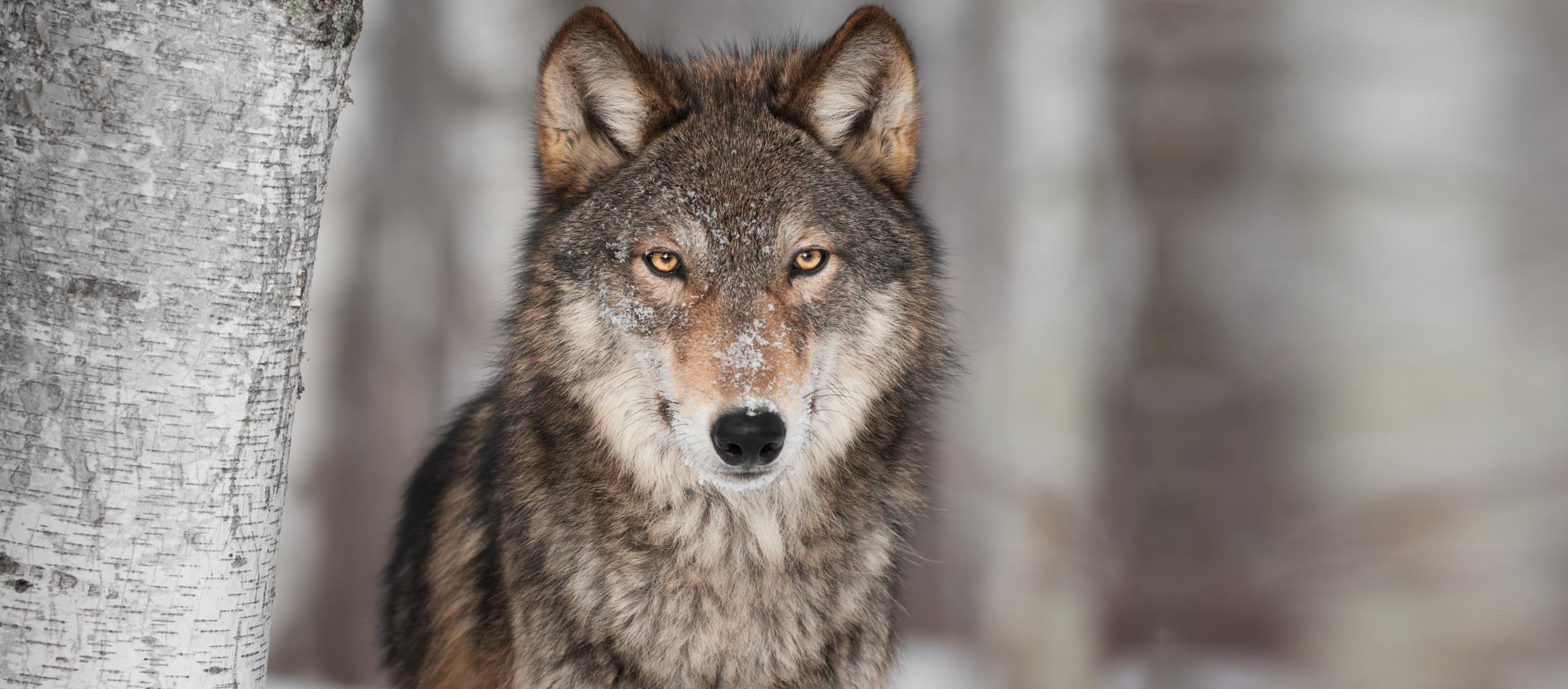 Killer Instinct Wolf-01.png