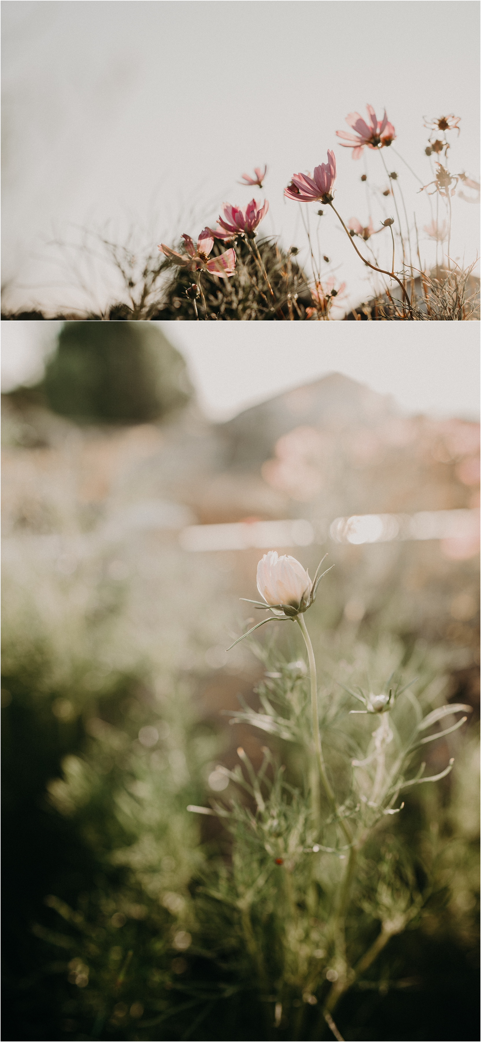Cosmos blowing in the wind cupcake Cosmos Boise Photographer Makayla Madden Idaho landscaping green thumb gardening 101