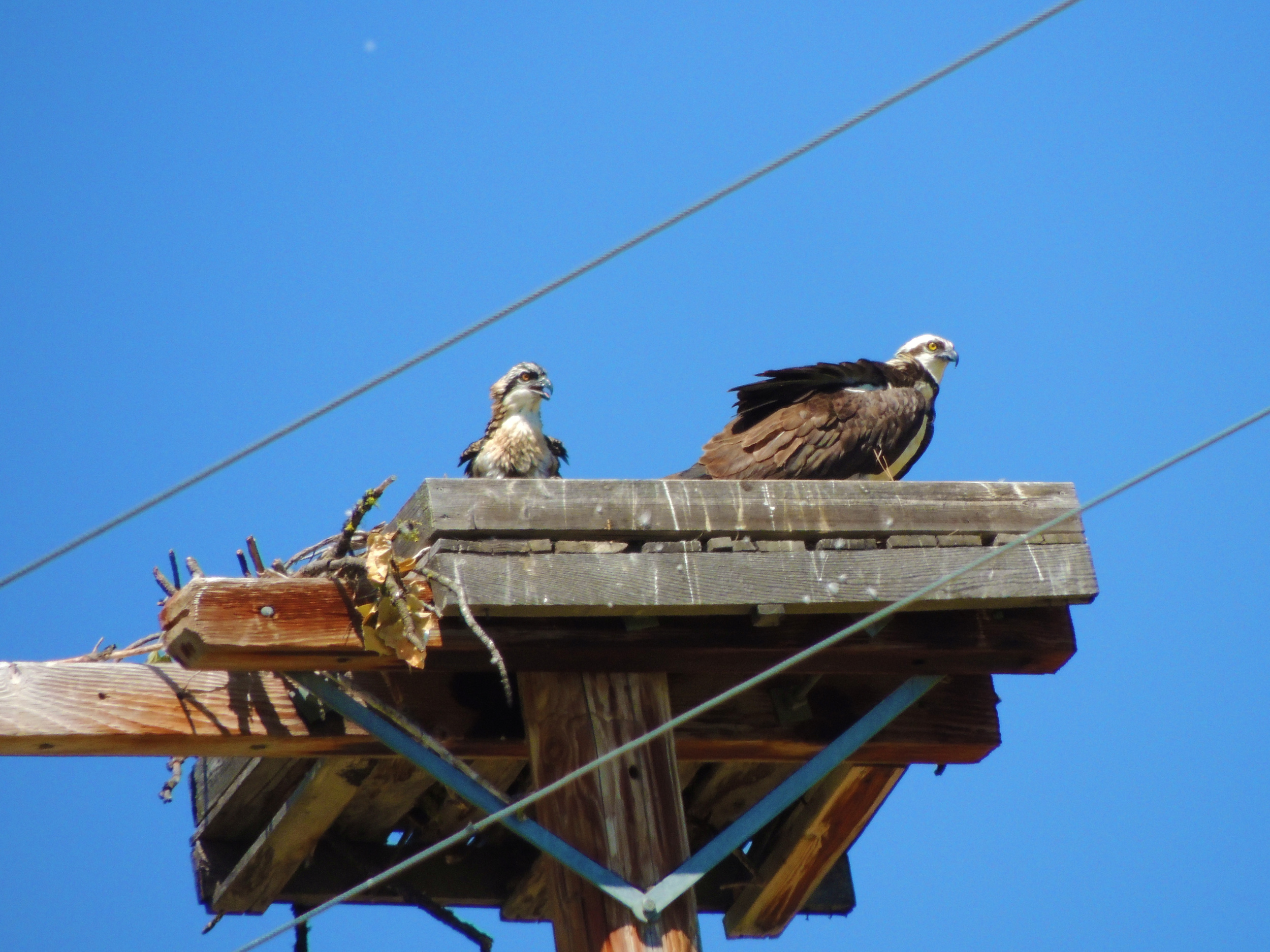 Osprey nesting platform with adult and chick near Sumpter.  Photo by Lynn Murrey