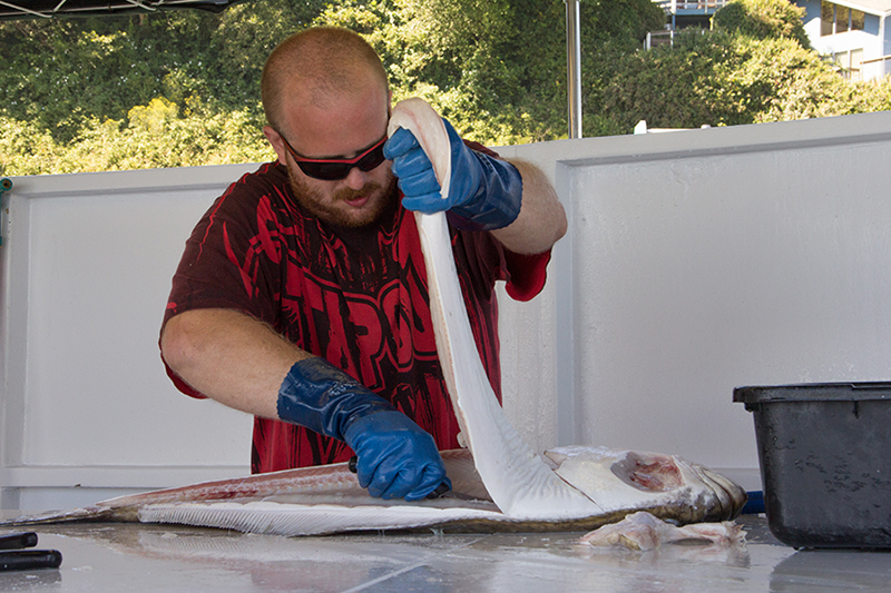 Aaron Wood fillets a freshly-caught 25lb halibut on board the Chelsea Rose in Newport.  Photo by Meredith Lawrence
