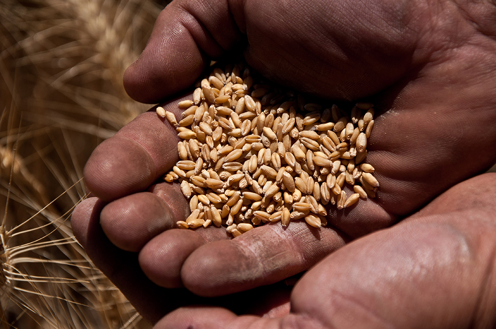 A Pendleton farmer inspects grains of wheat from his harvest.  Photo by Chantell Reid