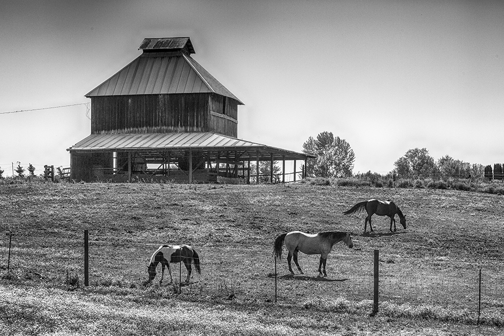 Horses, used for recreation, on a farm in the Willamette Valley.  Photo by Tom Reiman