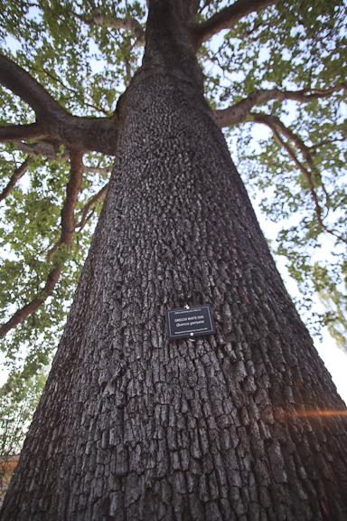 Oregon white oak. Photo by Blue Ackerman