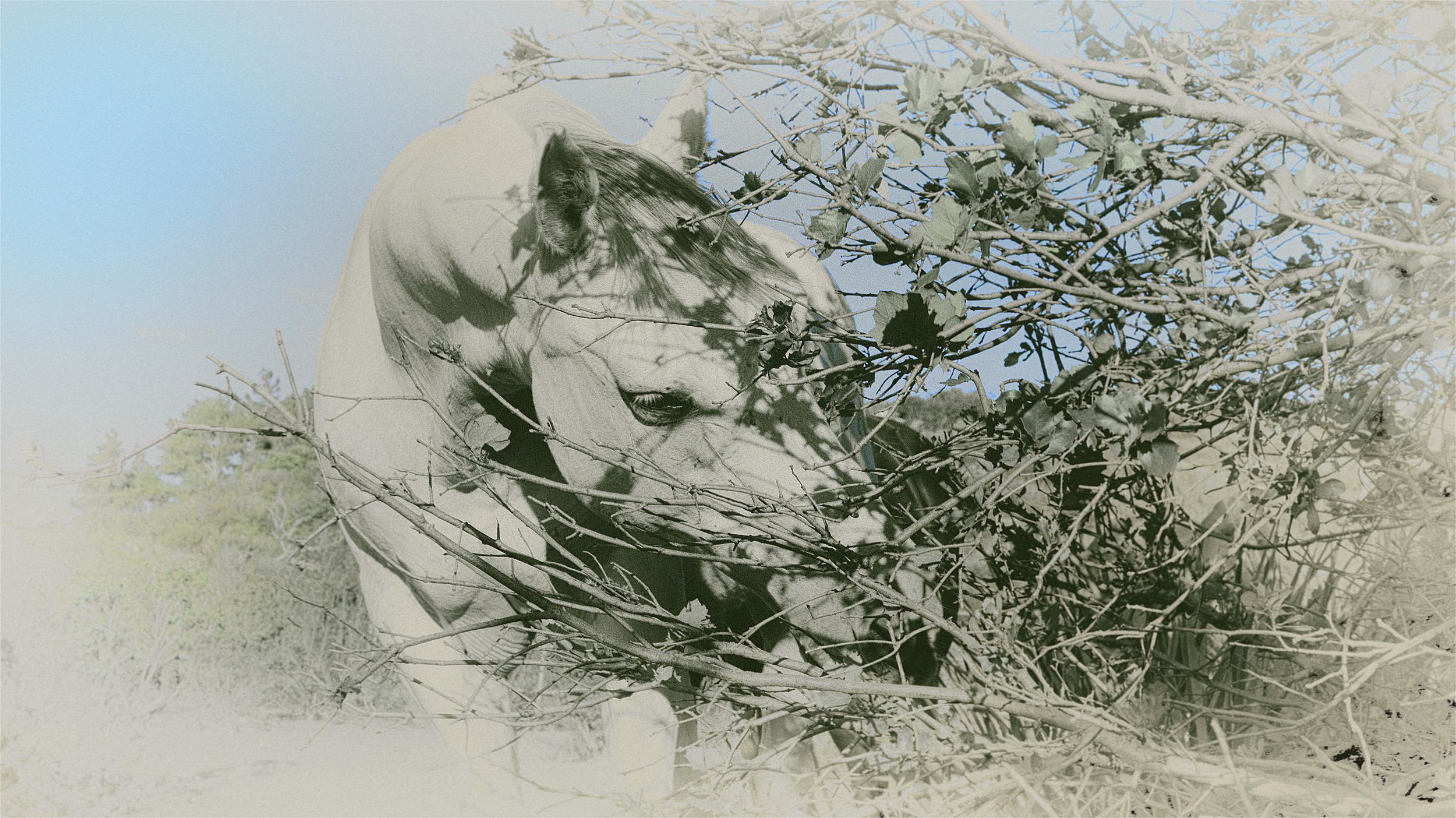 Pretty Boy grazing on a shrub oak bush in his coral