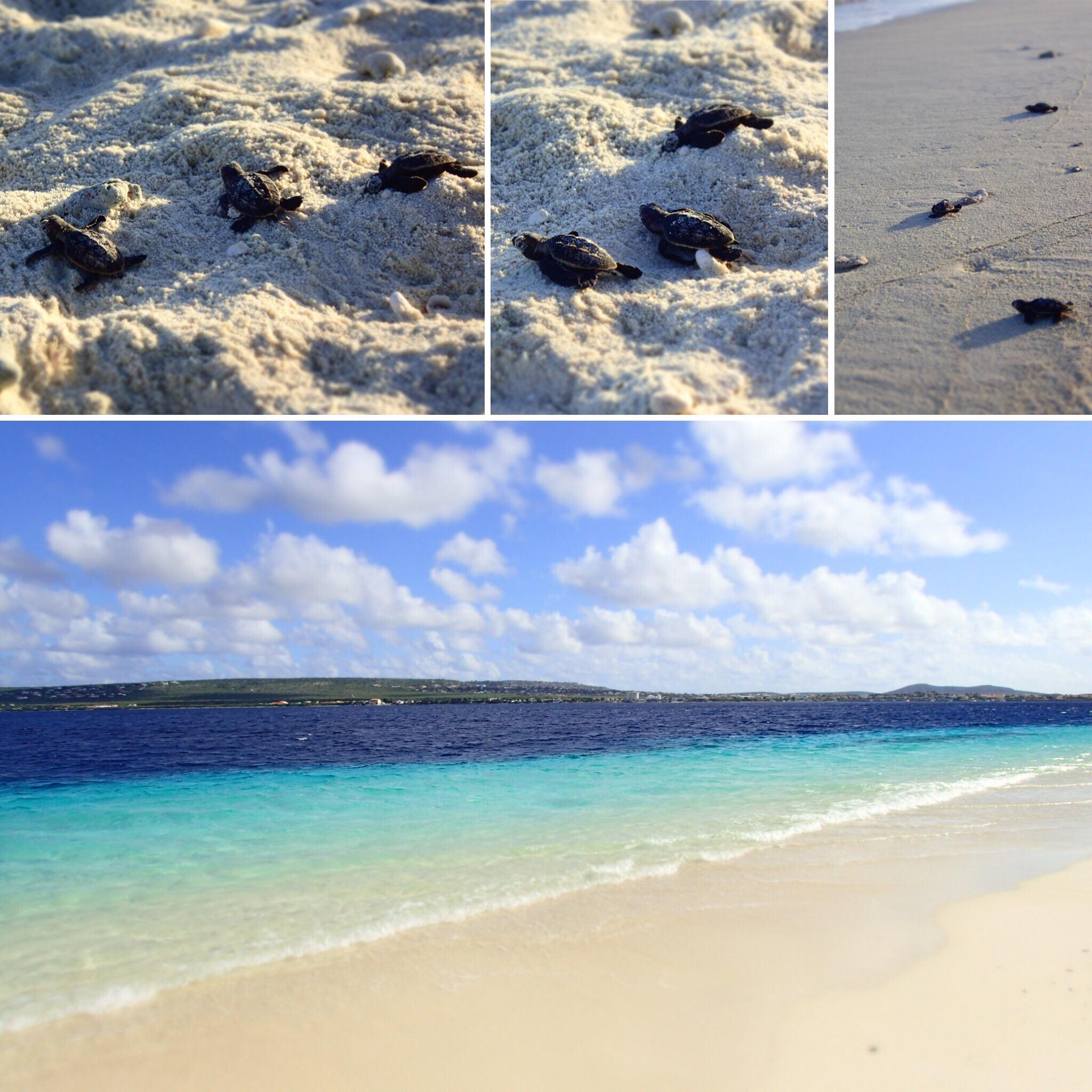 sea turtles bonaire