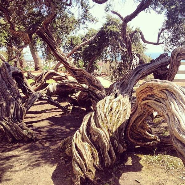Tangled tree in Santa Monica