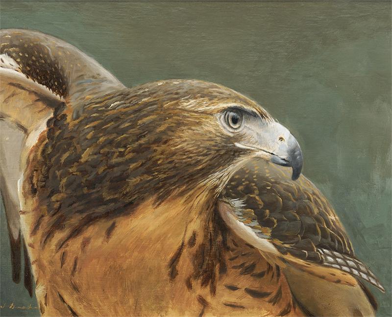 """Red Tail Hawk - oil, 16 x 20"""""""