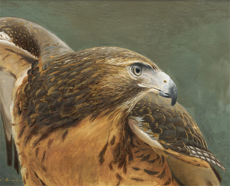 Resolved - Red Tail Hawk    - oil on linen, 15 x 20""