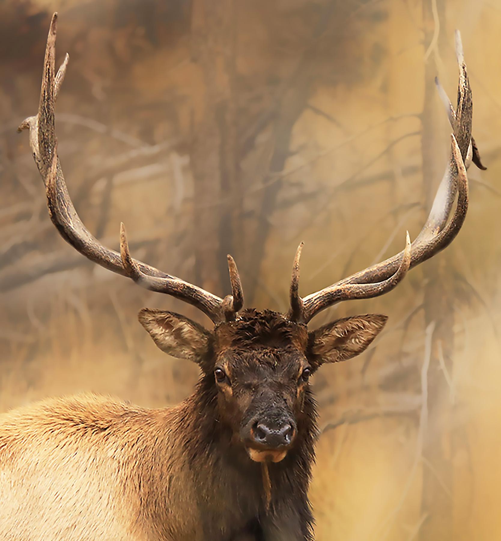 14 12 Point Bull Elk_©SQByrd_5.56.jpg