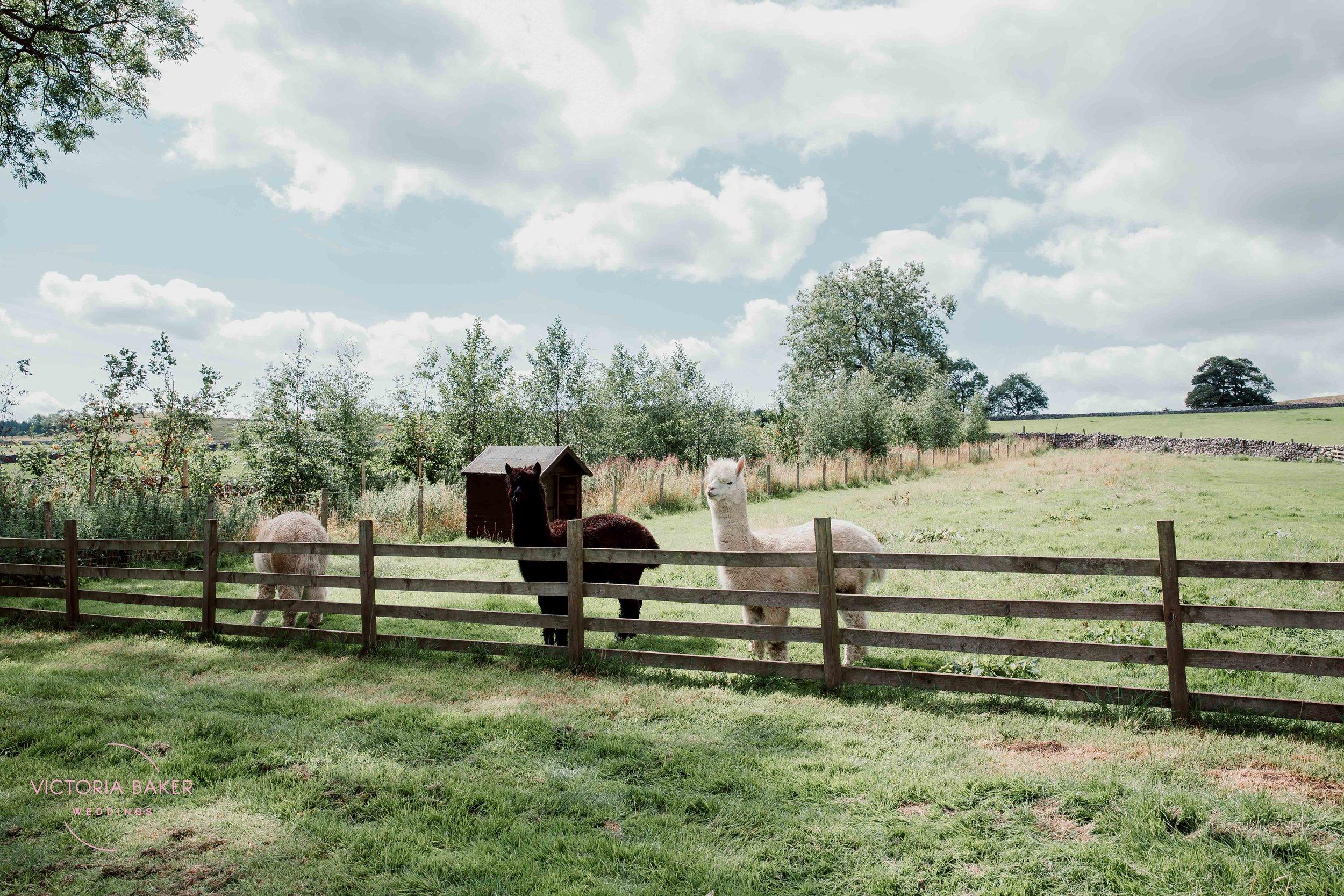 Alpacas at Outdoor wedding ceremony at Kilnsey Park Estate Wedding Photography