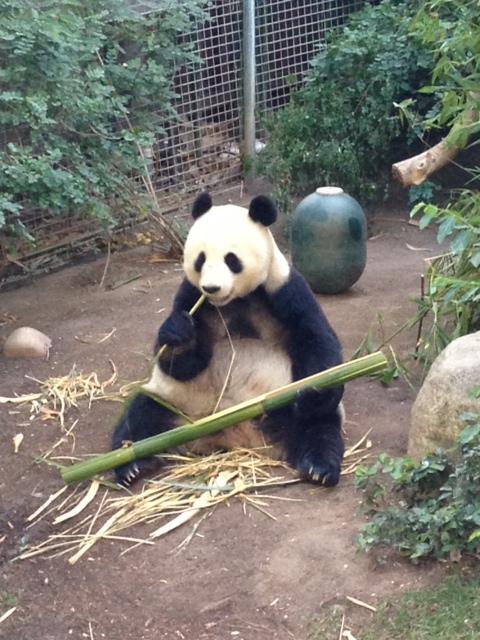 Panda at the San Diego Zoo.