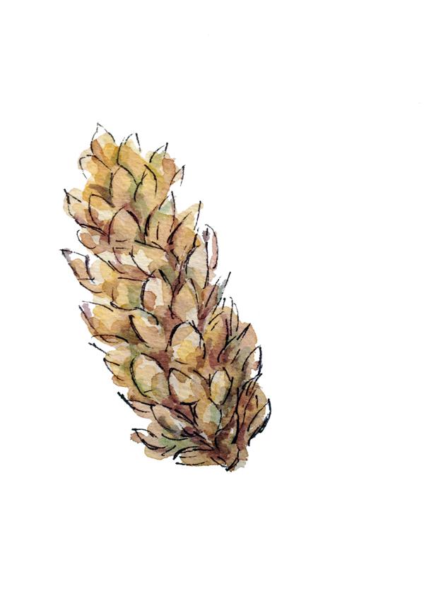 Pinecone4-GloriaHo.jpg