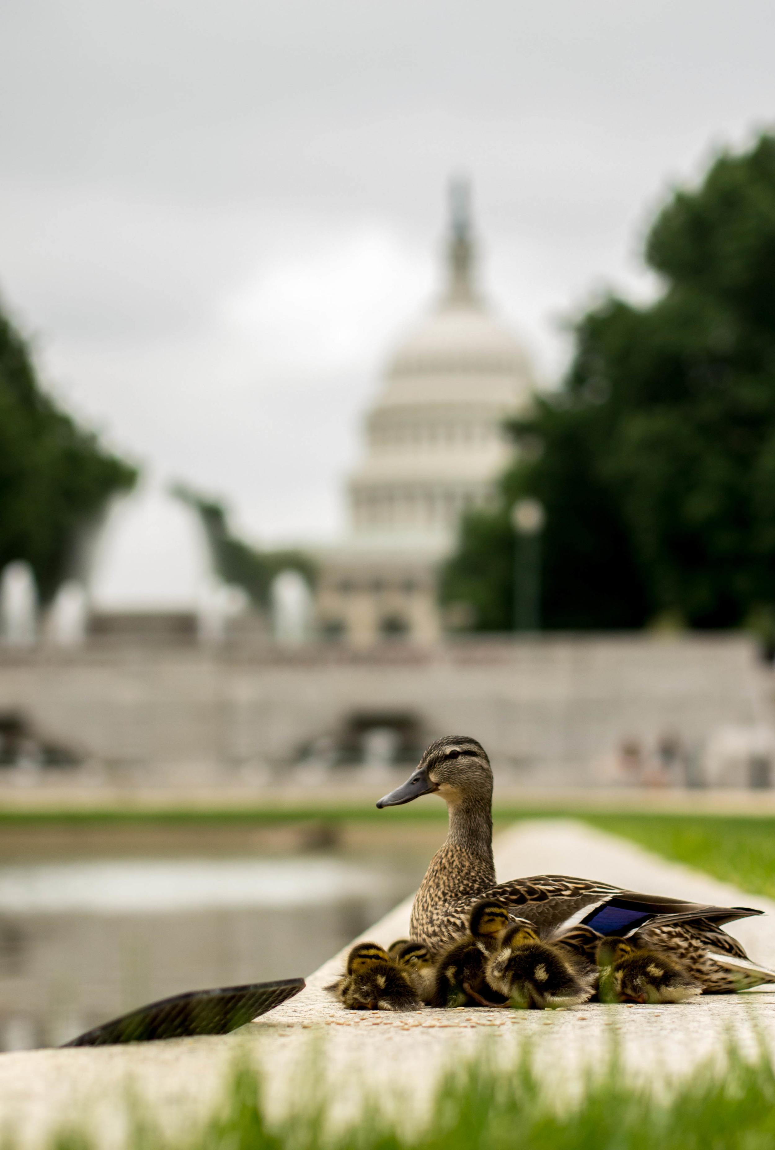 Ducks 044.jpg