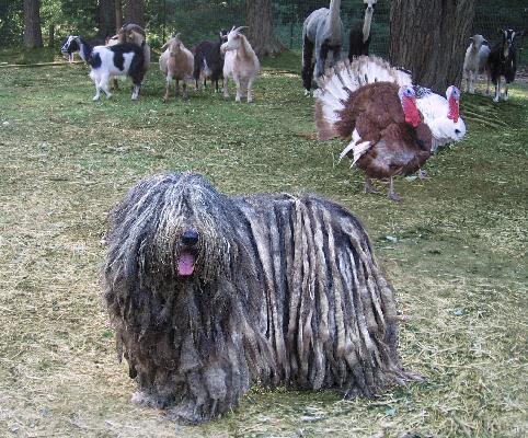 Bergamasco-Nyx-herding.jpg
