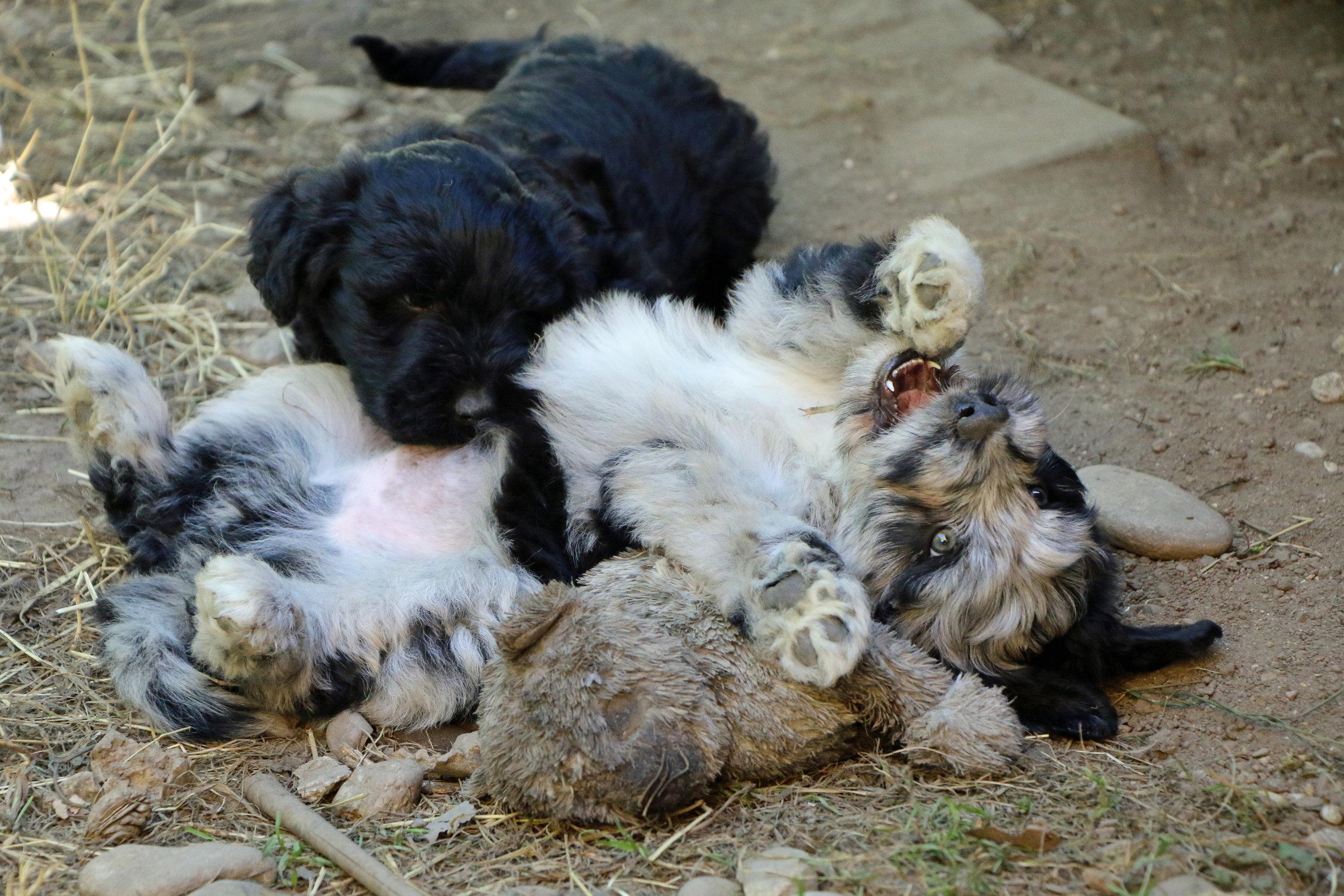 Puppies 7 weeks old