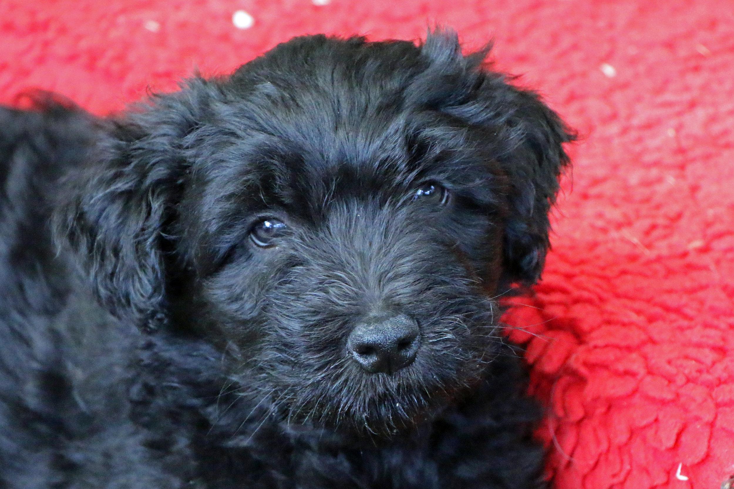 Puppy 7 weeks old