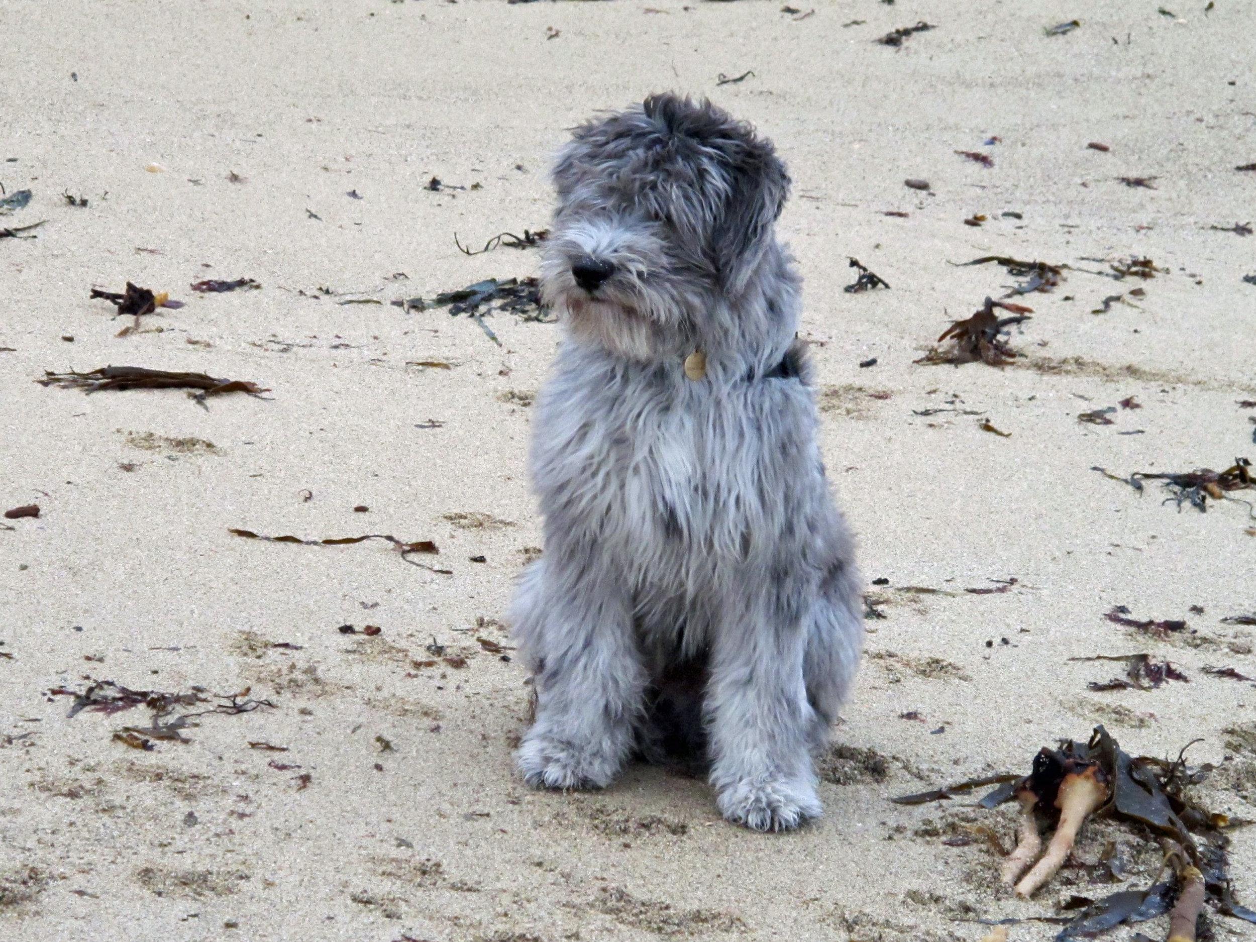 Ragnar puppy of Cicci and Mauro Kopie.jpg
