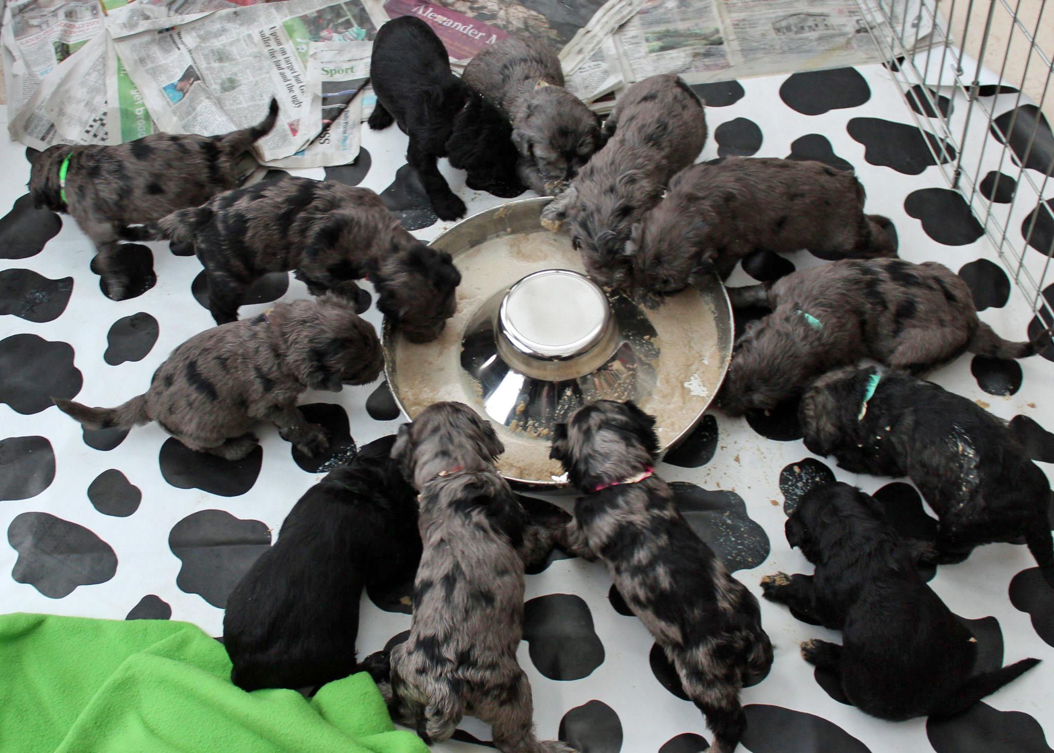 Calshair puppies Kopie.jpg