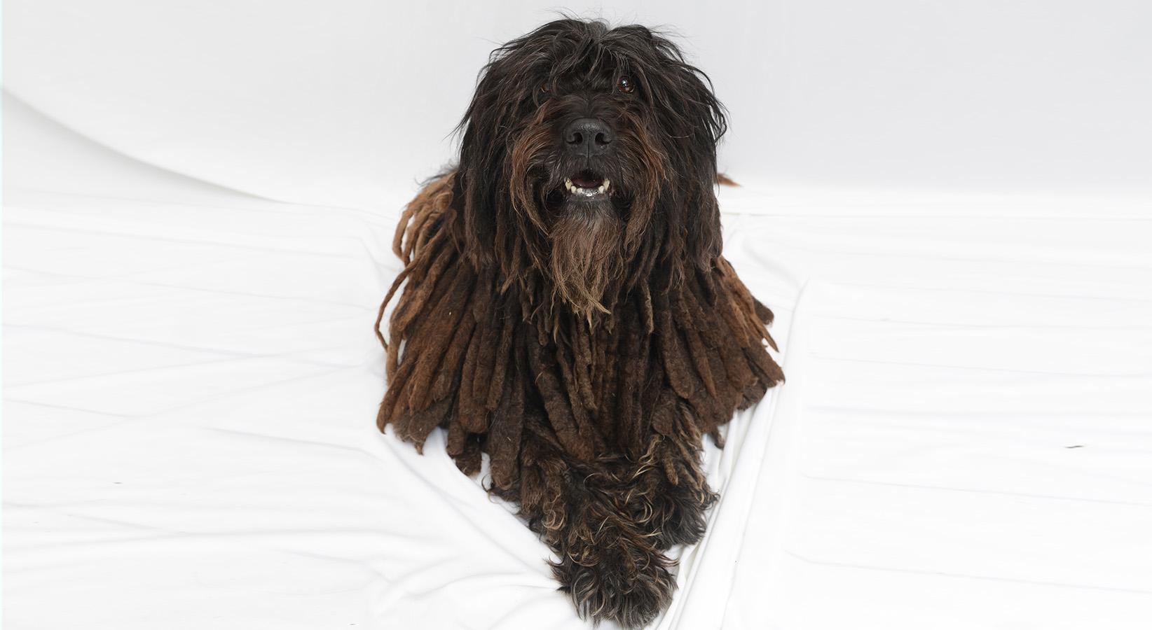 correct size Dolce Bergamasco  dog-1.jpg