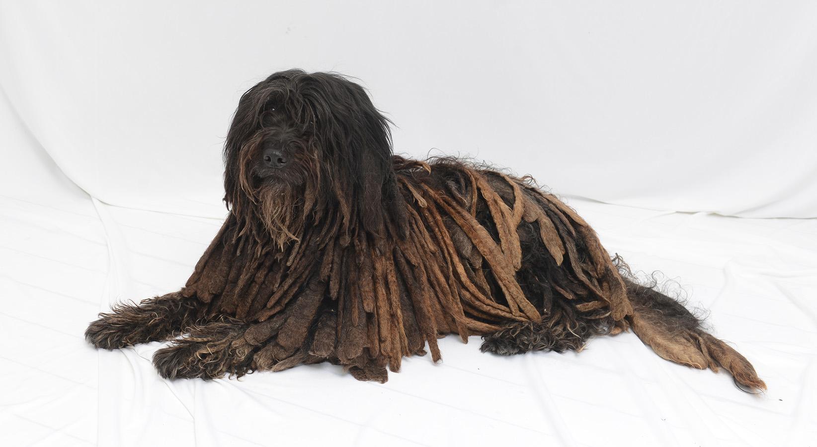correct size Dolce Bergamasco  dog-3.jpg