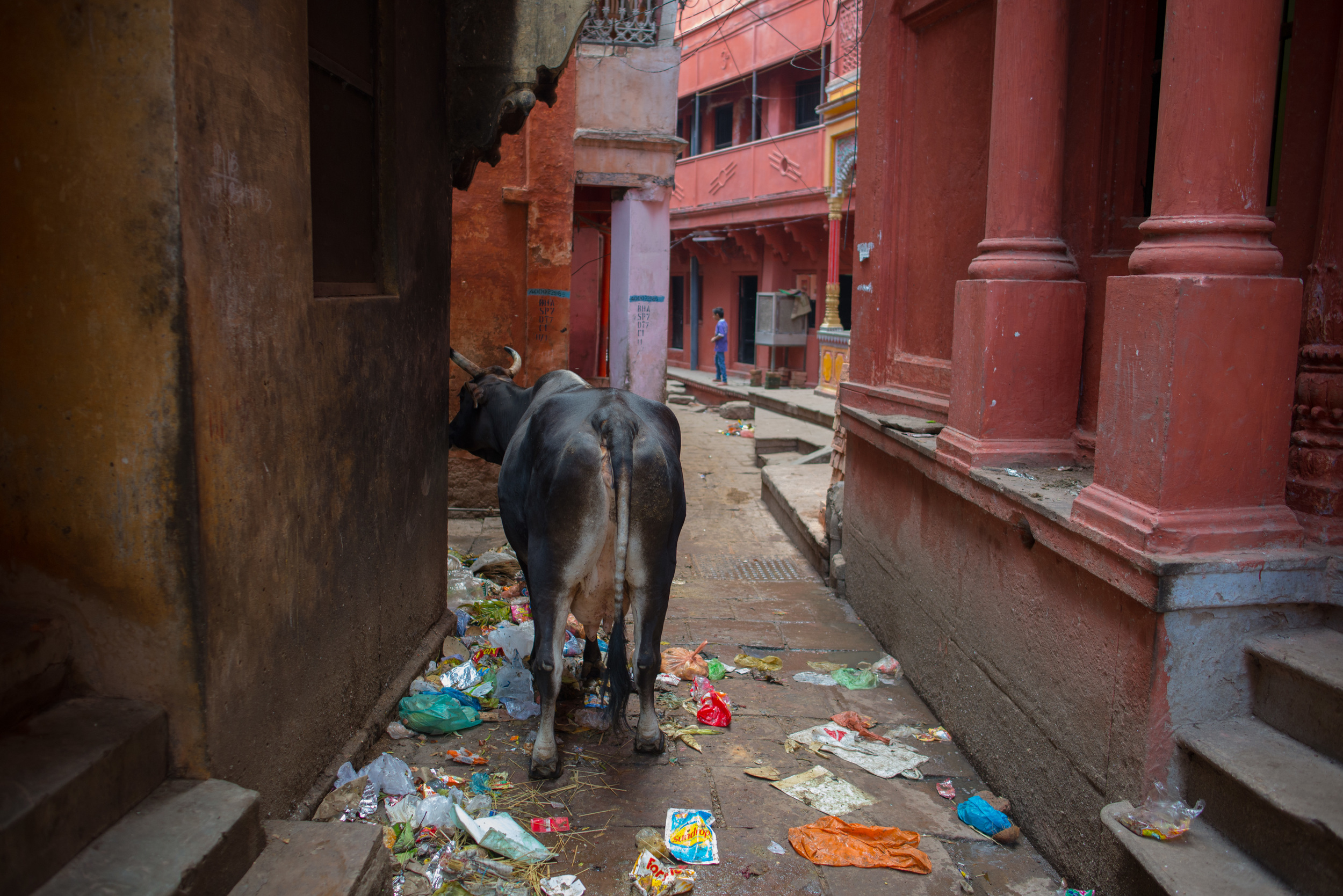 Cow picking through trash in Banaras