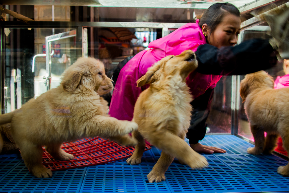 Apparently, it's really hard to clean a puppy's pen when they think everything is a game! These are some of the 'large and vicious' dogs that the laws in Beijing prohibit.