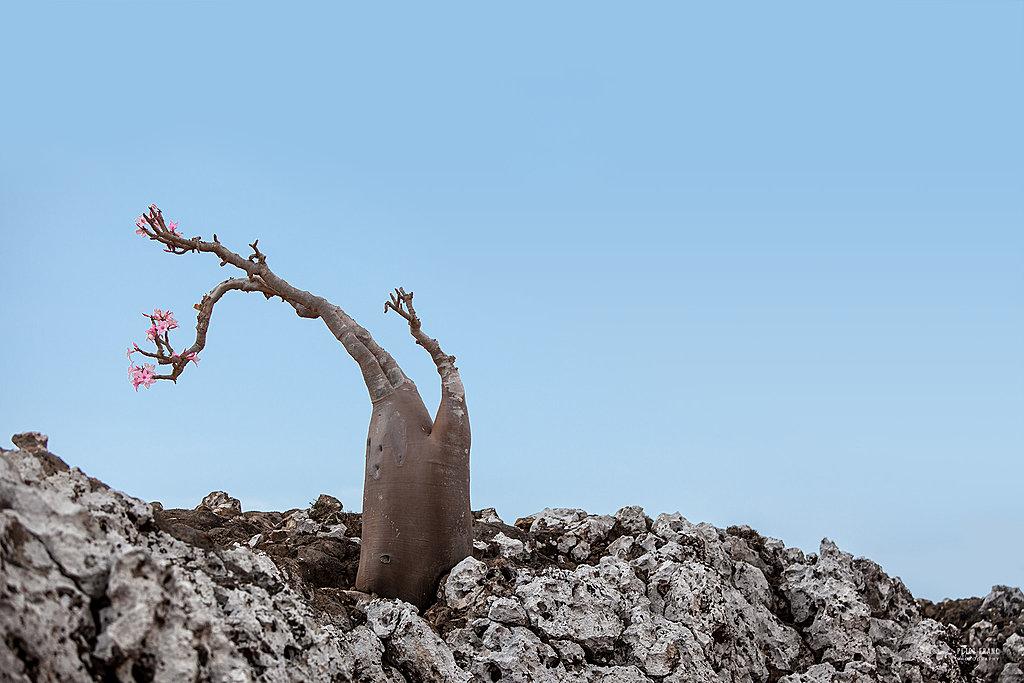 Socotra Island. Desert Rose, 2010 © Peter Franc