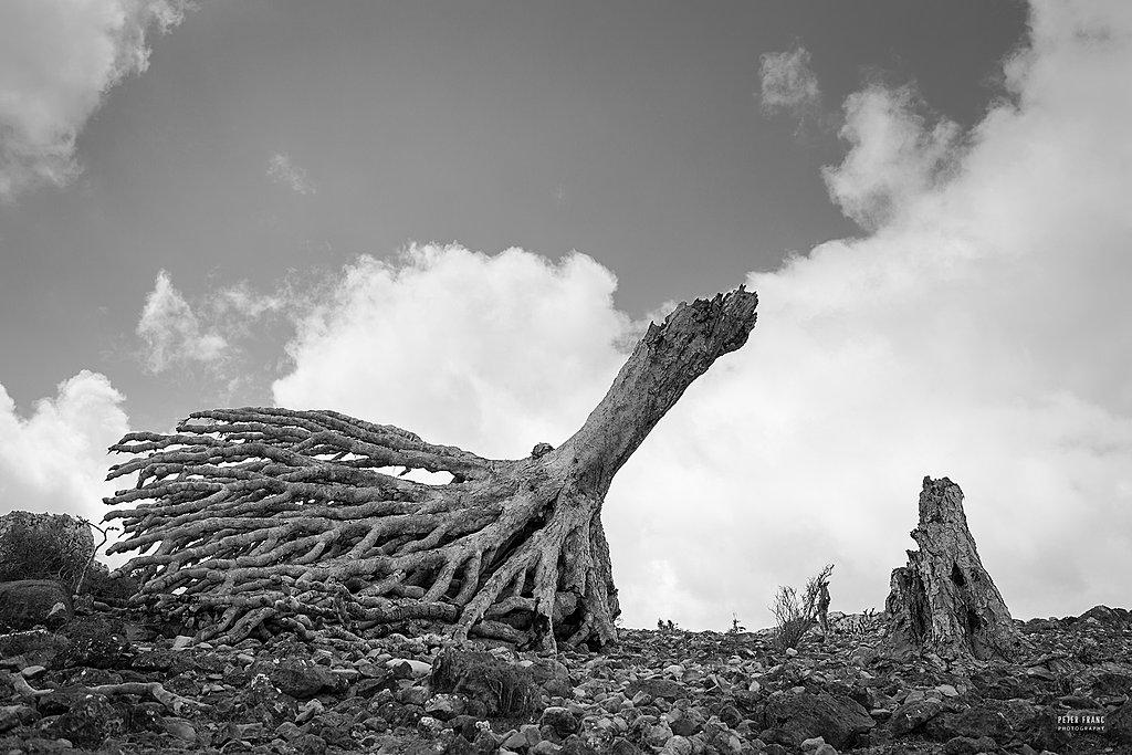 Socotra Island. Fallen Dragonsblood Tree, 2010 © Peter Franc