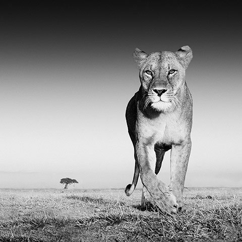 'The Prize' Lioness © 2013 David Yarrow Photography
