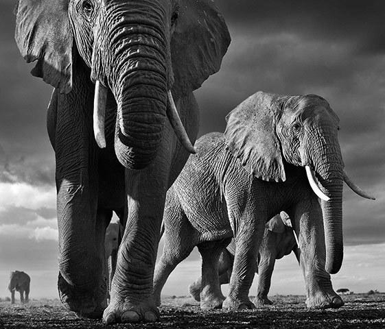 Elephants, Amboseli, Kenya © 2013 David Yarrow Photography