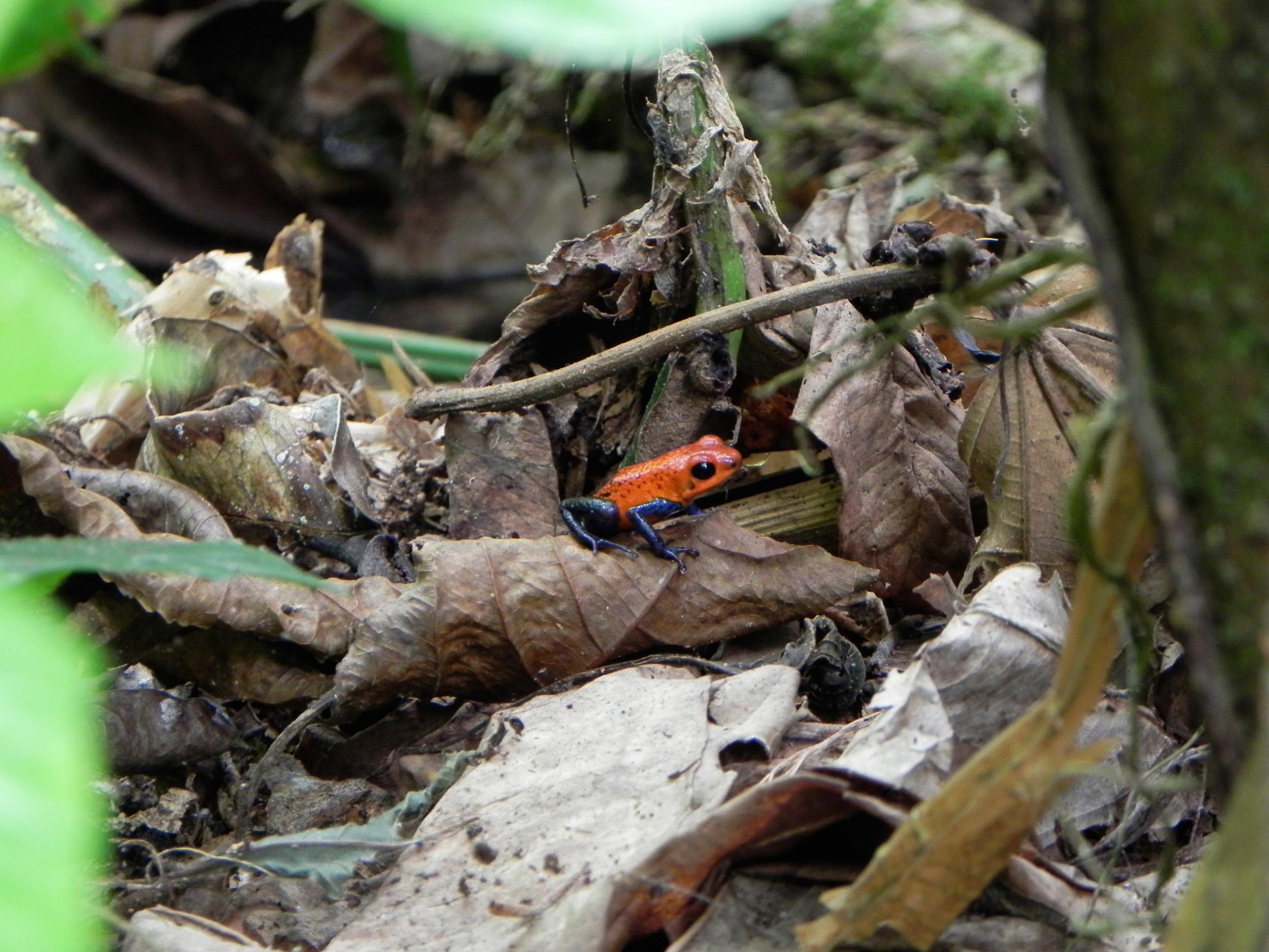 Blue Jean Frog, Costa Rica ©Ty Govaars