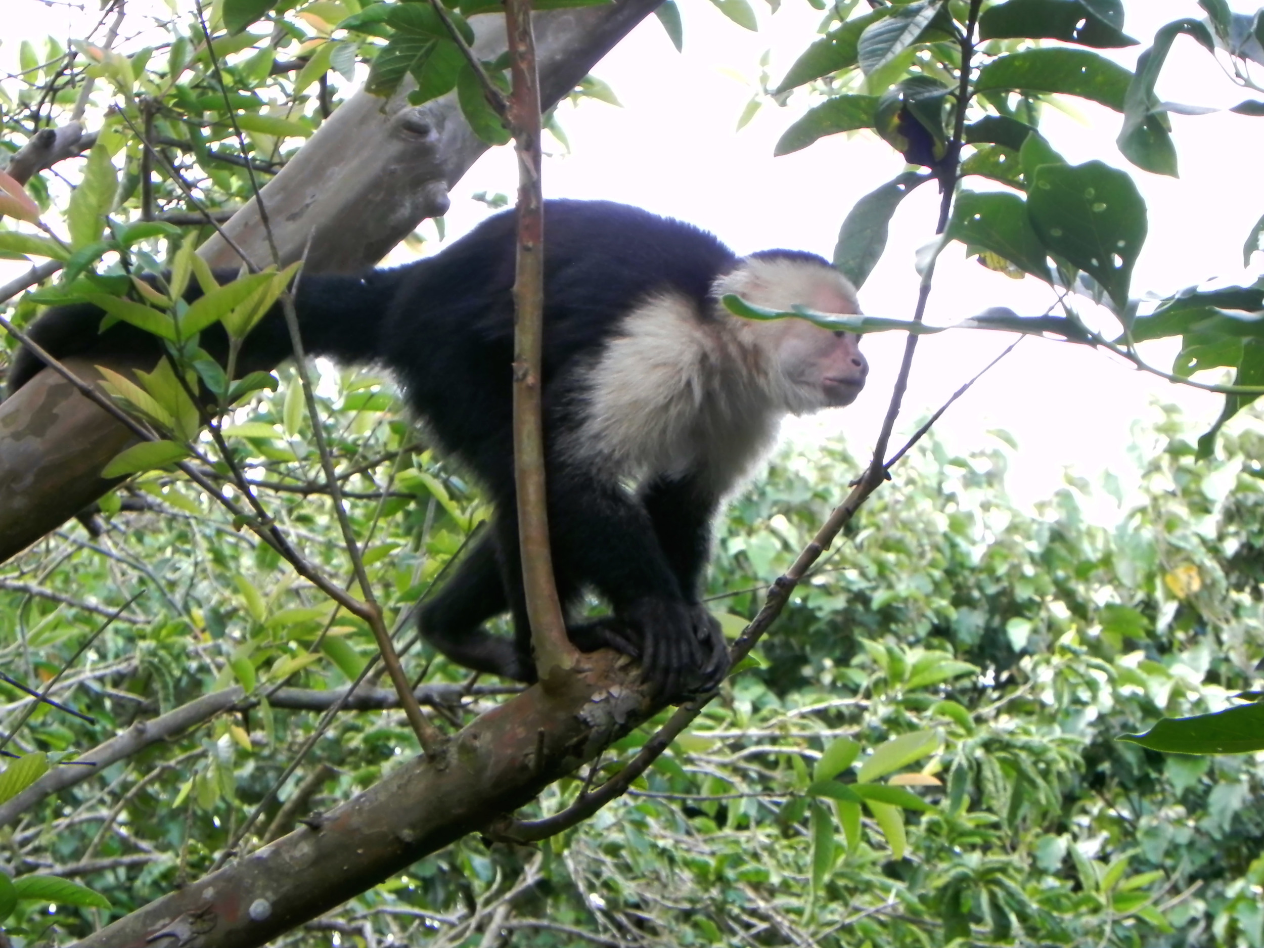 White Faced Capuchin, Costa Rica ©Ty Govaars