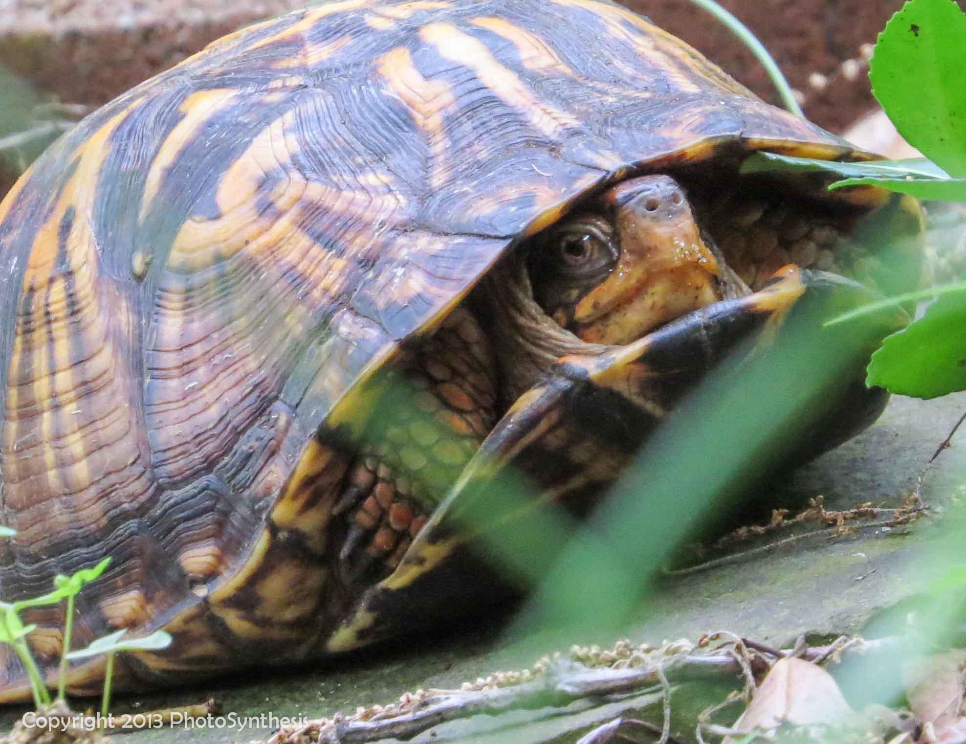 Shy turtle, shy turtle, MD, 2013
