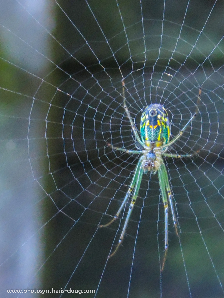 Orchard spider, Annapolis, MD, 2013