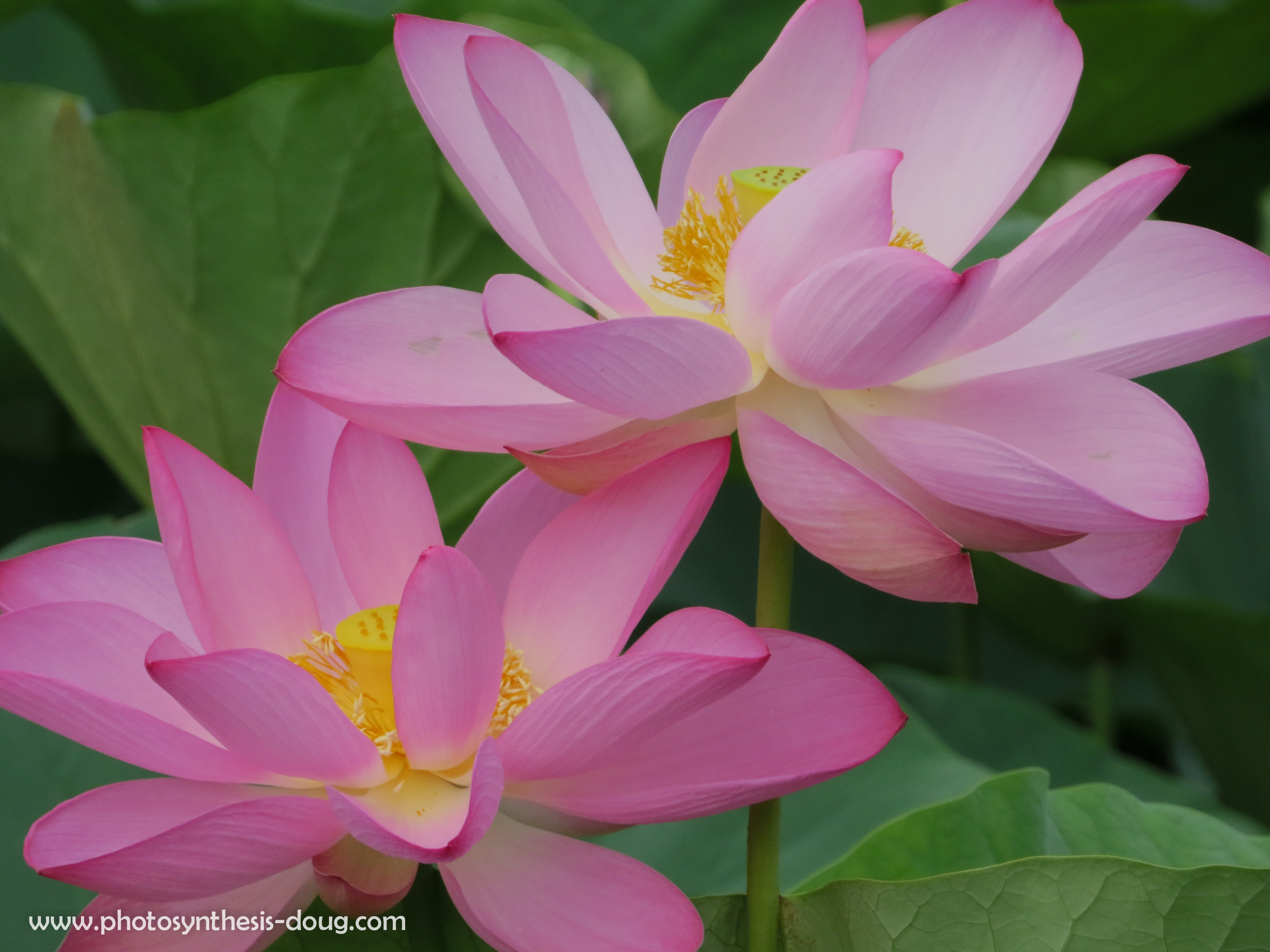 lotus bloom-2376.jpg