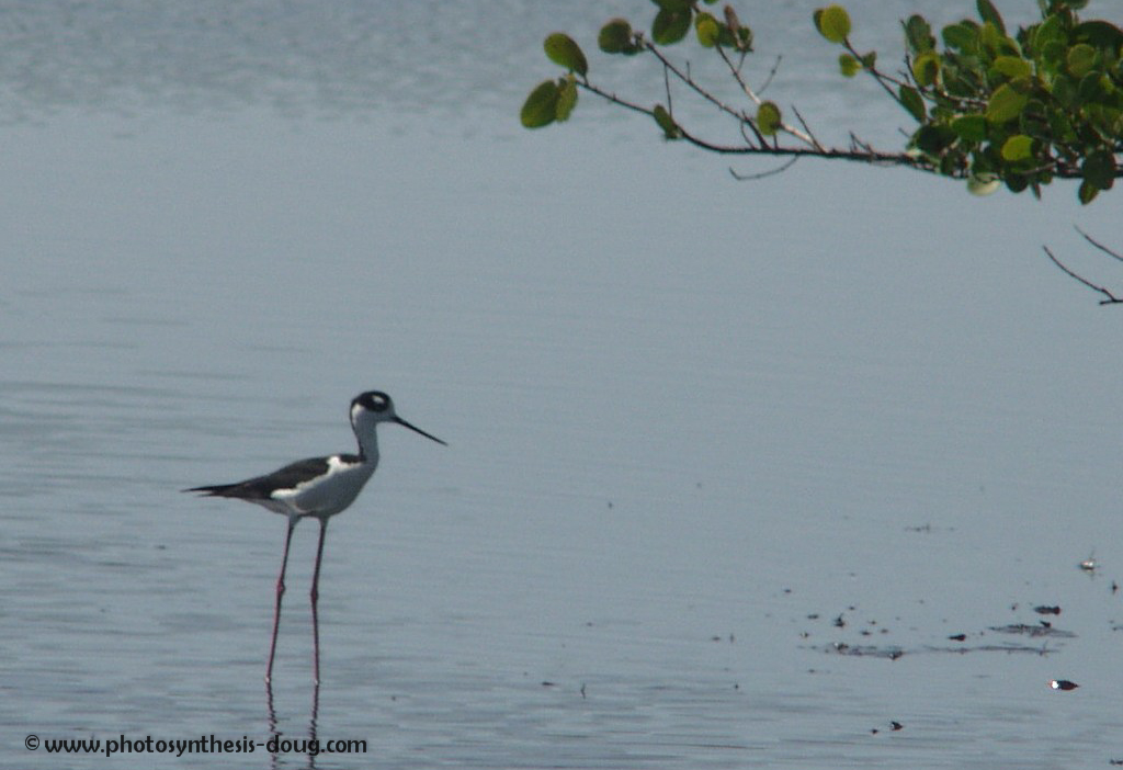3a black neck stilt-.jpg