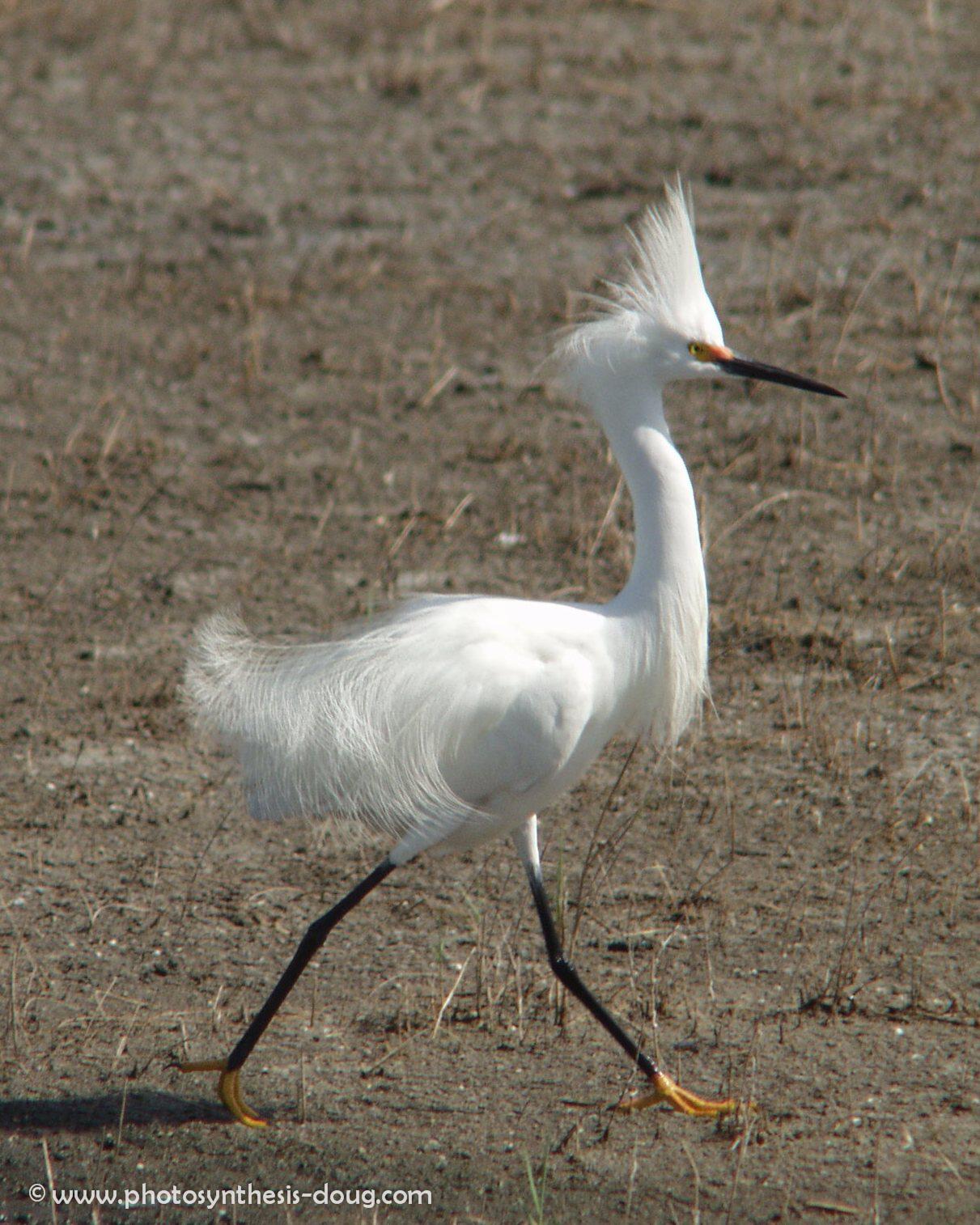 3b white egret-.jpg