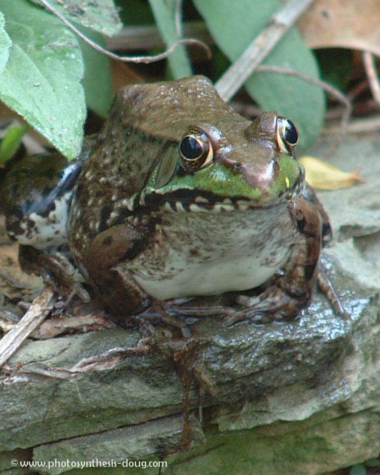 5a frog-.jpg