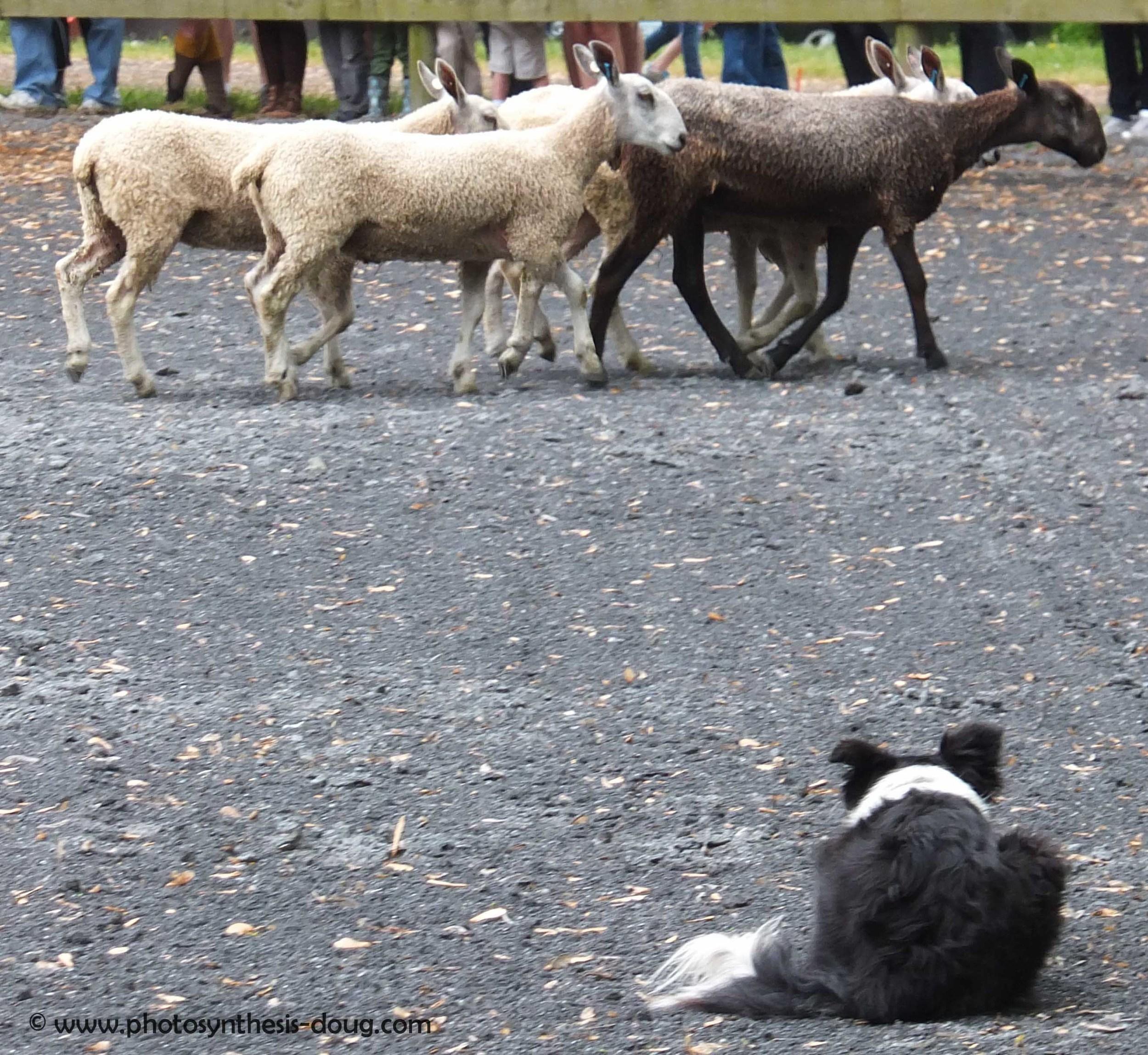 chasing sheep-2047.jpg