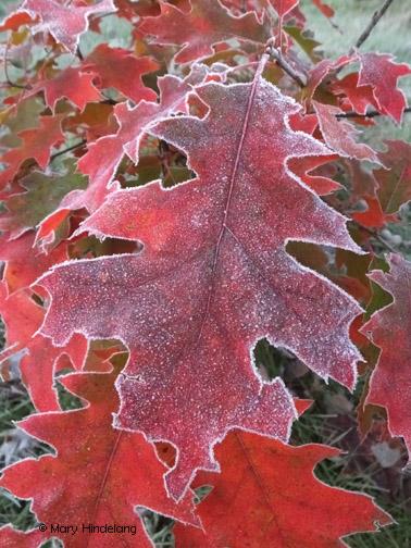 Mary Hindelang frost on leaf-004.jpg