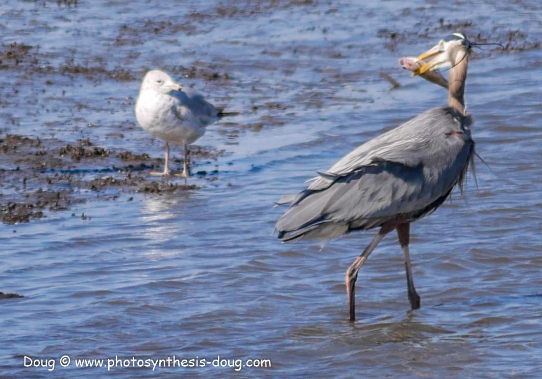 Bombay Hook birds-1030095.JPG