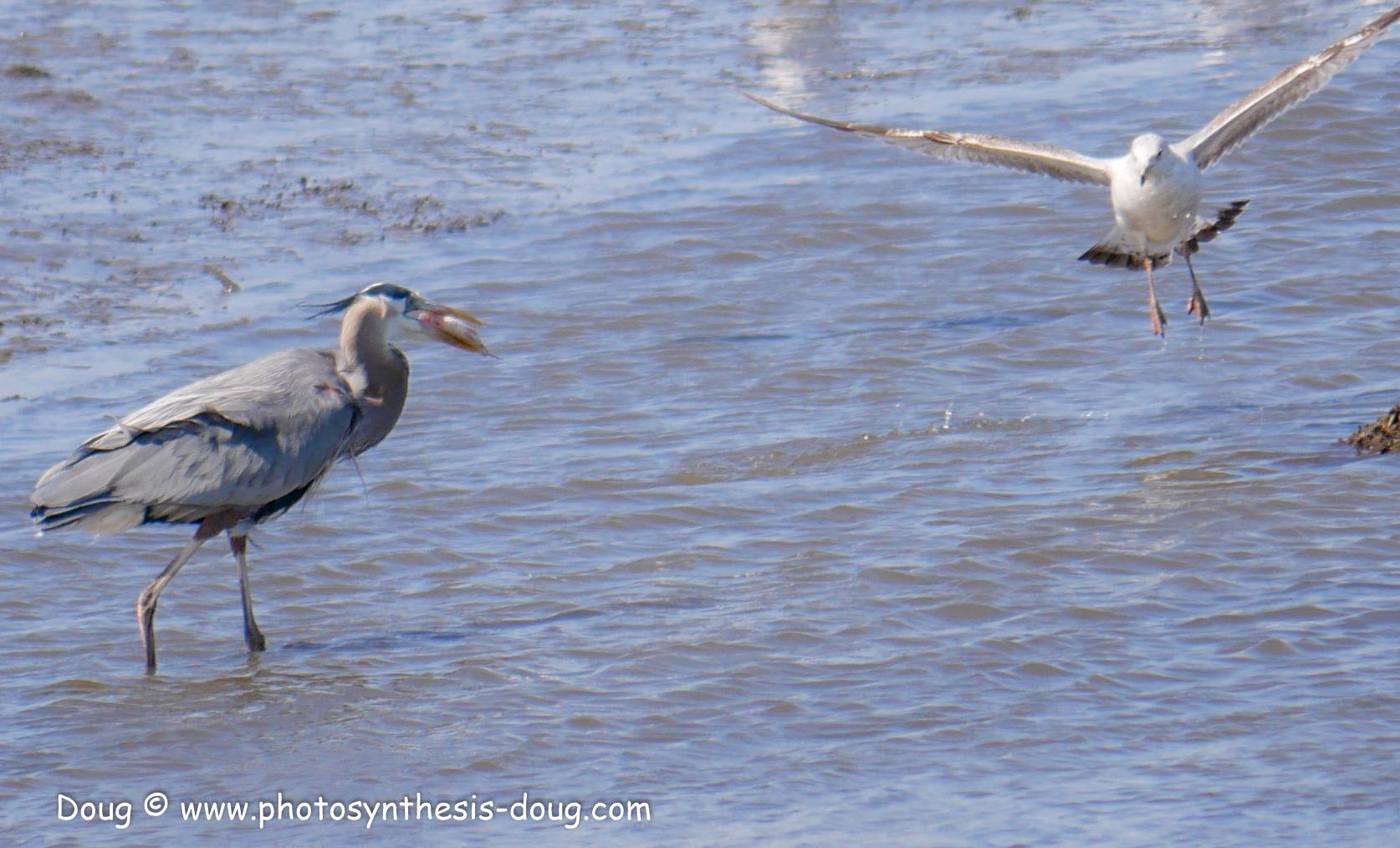 Bombay Hook birds-1030097.JPG
